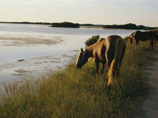 al-petteway-chincoteague-ponies-graze-on-marsh-grass