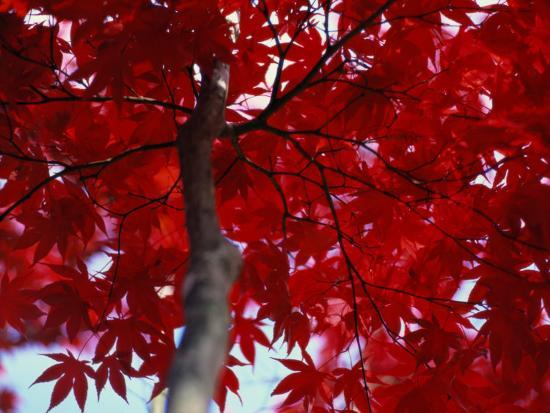 al-petteway-close-view-of-red-maple-leaves