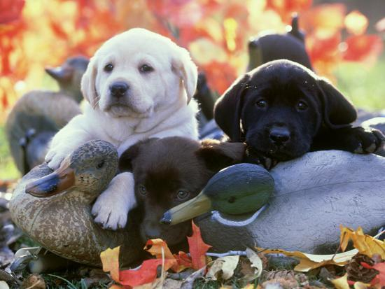 alan-and-sandy-carey-black-yellow-and-chocolate-labrador-pups-resting-on-duck-decoys