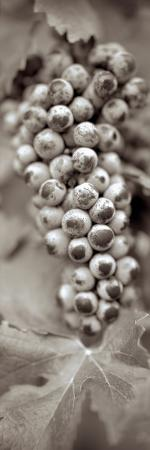 alan-blaustein-grapes-pano-6