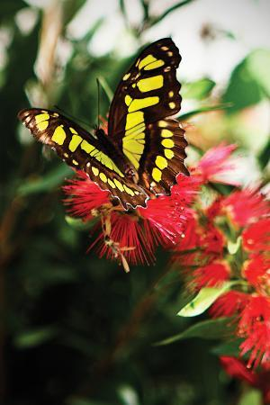 alan-hausenflock-baird-s-swallowtail-ii