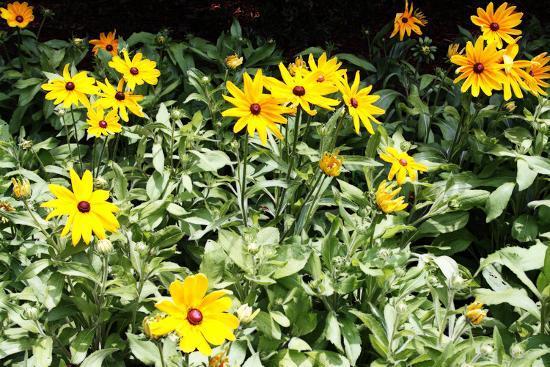 alan-hausenflock-yellow-daisies-ii