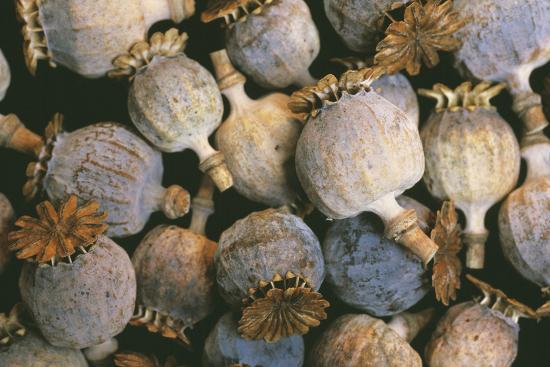 alan-sirulnikoff-dried-opium-poppies