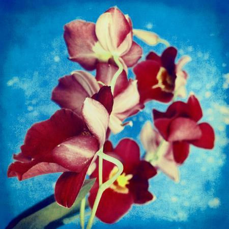 alaya-gadeh-portrait-of-red-miltonia-orchid-on-blue-background