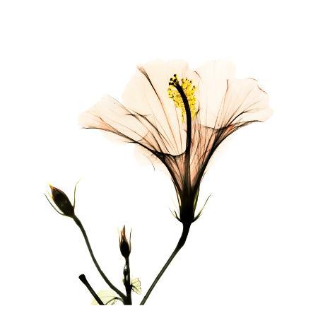 albert-koetsier-hibiscus