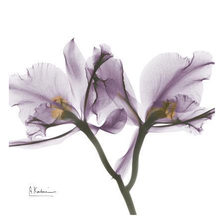 albert-koetsier-orchid-in-purple
