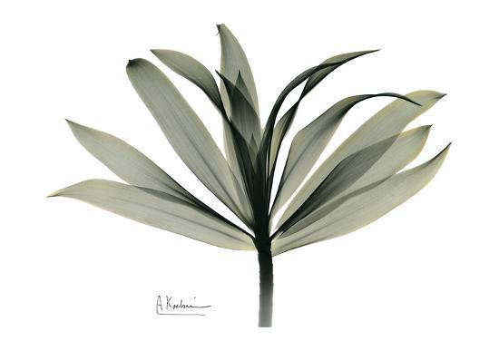 albert-koetsier-sons-of-india-dracaena