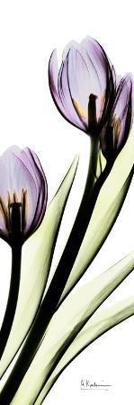 albert-koetsier-tulip-in-purple