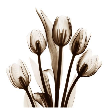 albert-koetsier-tulip-in-sienna