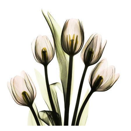 albert-koetsier-tulip-with-green