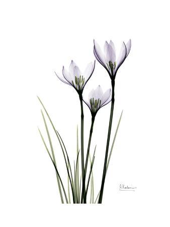 albert-koetsier-whit-rain-lily-portrait