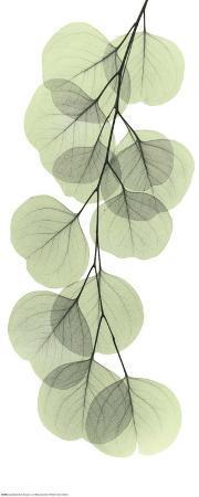 albert-koetsier-x-ray-eucalyptus-branch-ii