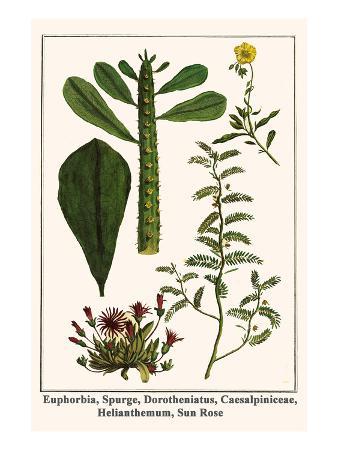 albertus-seba-euphorbia-spurge-dorotheniatus-caesalpiniceae-helianthemum-sun-rose