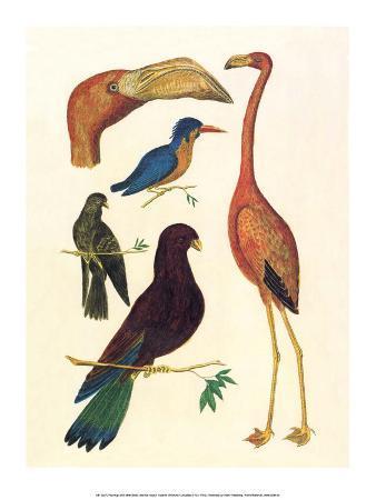 albertus-seba-flamingo-pigeons-doves-kingfisher-1734-1765