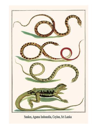 albertus-seba-snakes-agama-indonedia-ceylon-sri-lanka