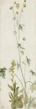 albrecht-duerer-une-fleur