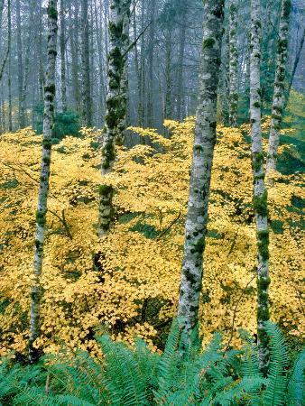 alders-and-vine-maples-clatsop-county-north-coastal-range-oregon-usa