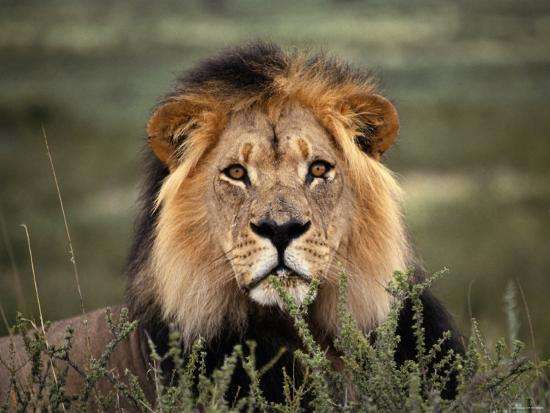 alert-lion-lying-down-in-grass