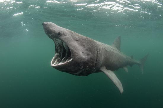 alex-mustard-basking-shark-cetorhinus-maximus-feeding-at-the-surface-on-plankton-cairns-of-coll-scotland-uk