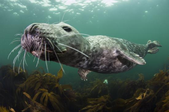 alex-mustard-female-grey-seal-juvenile-swimming-over-kelp-off-farne-islands-northumberland