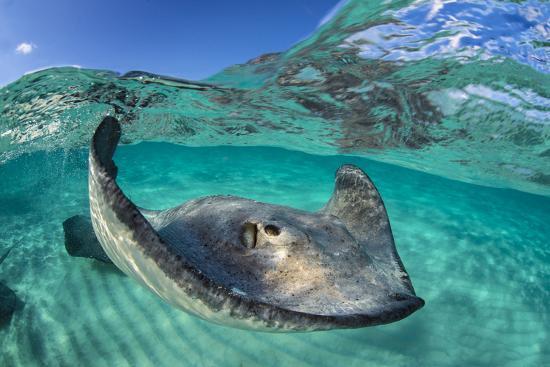 alex-mustard-split-level-image-of-a-southern-stingray-dasyatis-americana-swimming-over-a-sand-bar