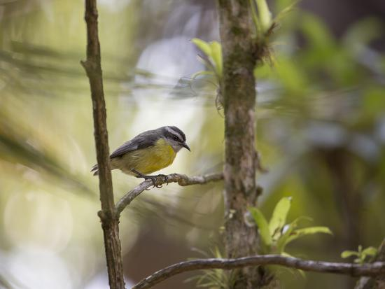 alex-saberi-a-bananaquit-bird-coereba-flaveola-rests-on-a-branch-in-in-ubatuba