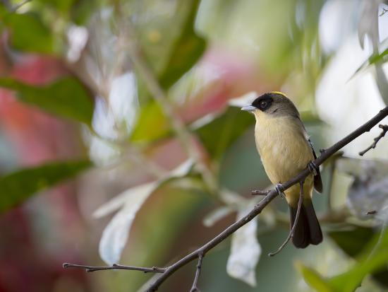 alex-saberi-a-black-goggled-tanager-trichothraupis-melanops-in-the-atlantic-rainforest-ubatuba-brazil