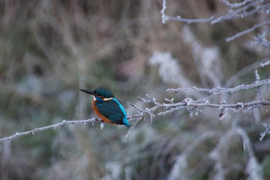 alex-saberi-a-brilliantly-hued-kingfisher-sits-on-a-frost-covered-branch