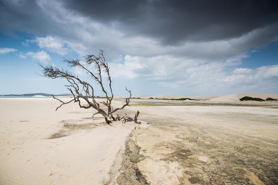 alex-saberi-a-dead-tree-on-the-sand-dune-near-the-beach-in-jericoacoara-brazil