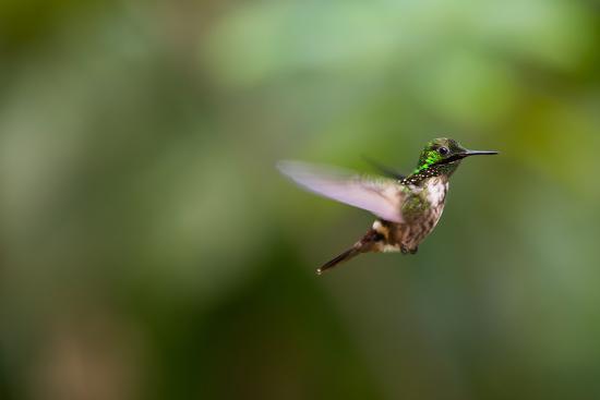 alex-saberi-a-festive-coquette-lophornis-chalybeus-in-flight-in-the-atlantic-rainforest