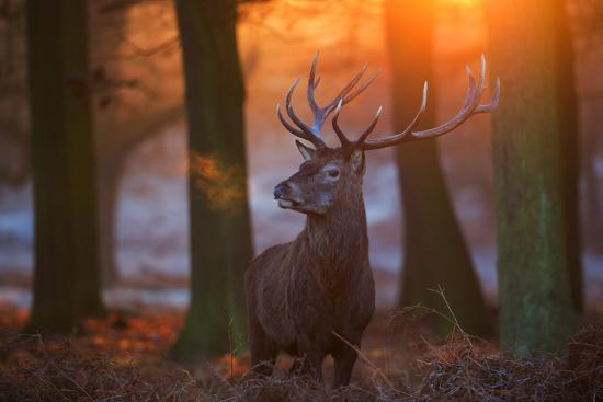 alex-saberi-a-large-majestic-red-deer-stag-in-the-orange-early-morning-glow-in-richmond-park