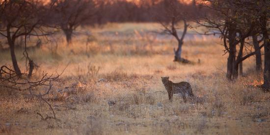 alex-saberi-a-leopard-panthera-pardus-pardus-walks-through-grassland-aglow-in-the-setting-sun