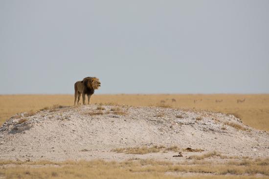 alex-saberi-a-lion-panthera-leo-surveying-his-territory