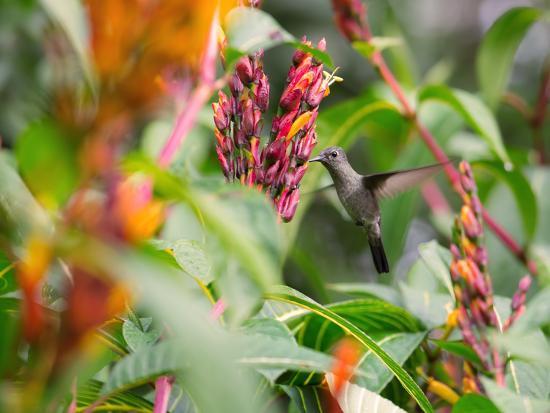 alex-saberi-a-sombre-hummingbird-aphantochroa-cirrochloris-mid-flight-feeding-from-a-flower