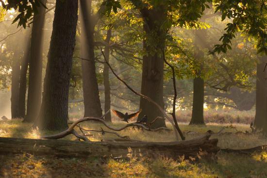 alex-saberi-a-western-jackdaw-corvus-monedula-lands-in-misty-forest-in-autumn