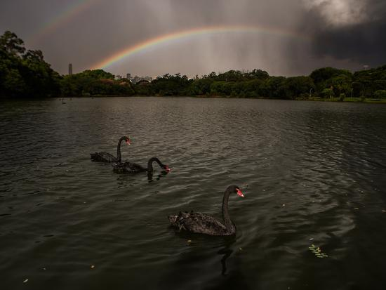 alex-saberi-three-black-swans-on-a-lake-during-a-storm-in-ibirapuera-park-sao-paulo-brazil