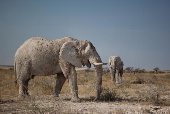 alex-saberi-two-bull-elephants-in-etosha-national-park-namibia