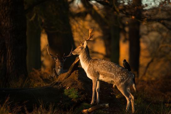 alex-saberi-two-fallow-deer-cervus-elaphus-in-london-s-richmond-park