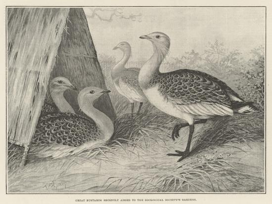 alexander-francis-lydon-great-bustards-recently-added-to-the-zoological-society-s-gardens