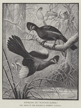 alexander-francis-lydon-touracos-or-plantain-eaters-new-birds-in-the-zoological-society-s-gardens