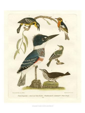 alexander-wilson-antique-kingfisher-i