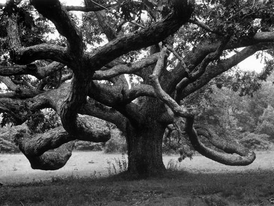 alfred-eisenstaedt-giant-oak-tree-on-martha-s-vineyard
