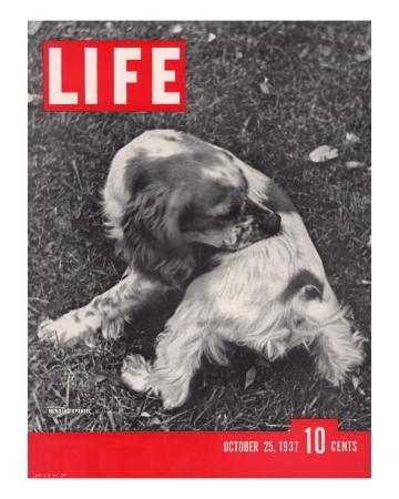 alfred-eisenstaedt-hunting-spaniel-in-poughkeepsie-ny-october-25-1937