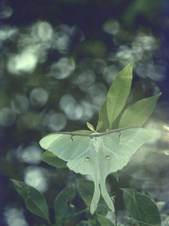 alfred-eisenstaedt-luna-moth-clings-to-a-pond-side-chokecherry-tree