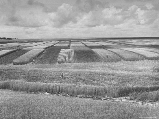alfred-eisenstaedt-wheat-plots-at-experimental-station-working-on-erosion-problem