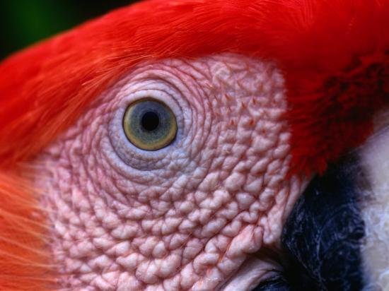 alfredo-maiquez-scarlet-macaw-ara-macao-tambopata-candamo-national-park-madre-de-dios-peru