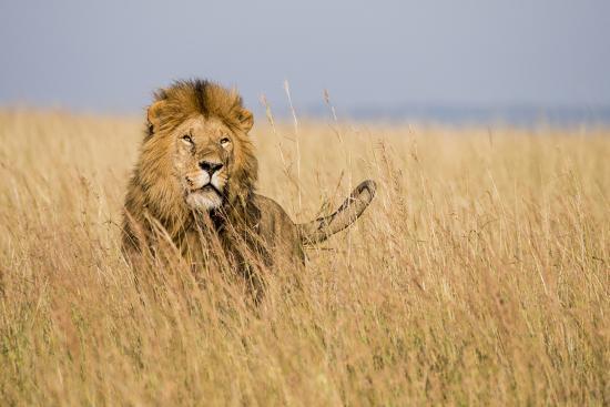 alison-jones-kenya-maasai-mara-mara-triangle-mara-river-basin-lion-in-the-grass