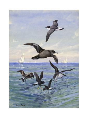 allan-brooks-various-petrels-and-shearwaters-look-for-food-at-the-water-s-surface