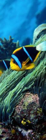 allard-s-anemonefish-in-the-ocean