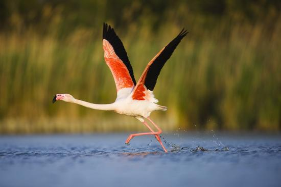 allofs-greater-flamingo-phoenicopterus-roseus-taking-off-from-lagoon-camargue-france-may-2009